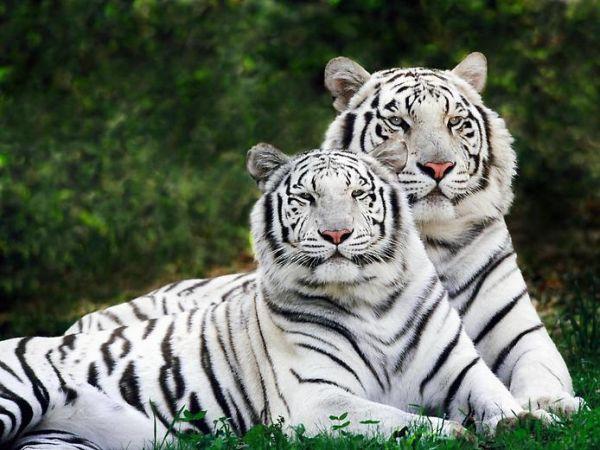 Cachorros de tigre blanco