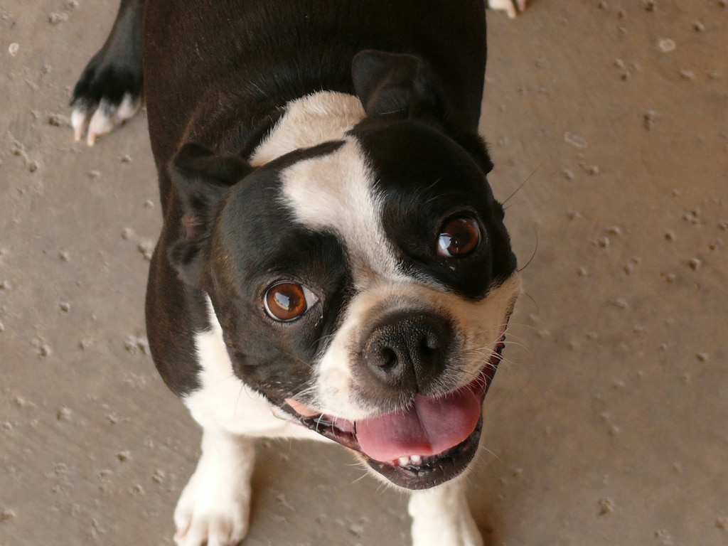 Annie the Boston Terrier