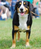 Appenzell Cattle Dog