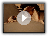 Englisch Bulldog Vater trifft Tochter erstmals