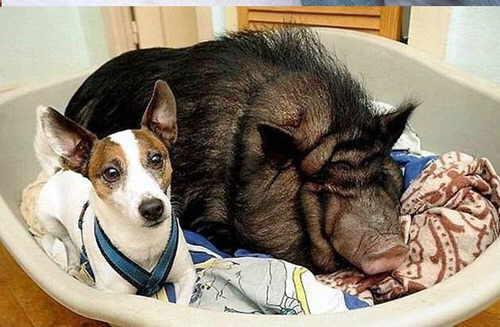 cerdo y perro