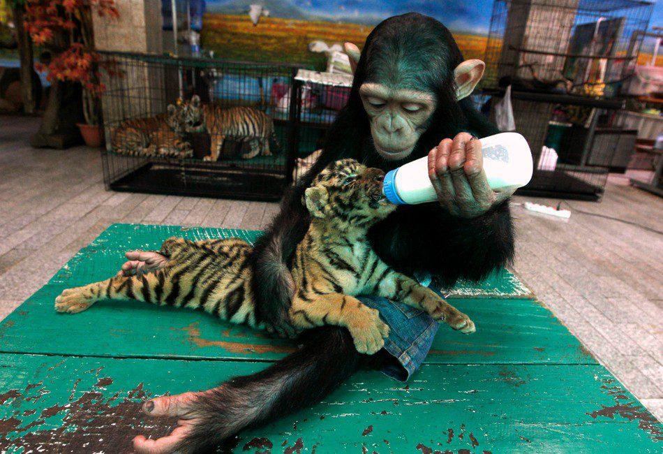 chimpance-y-tigre