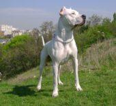 Argentinische Dogge