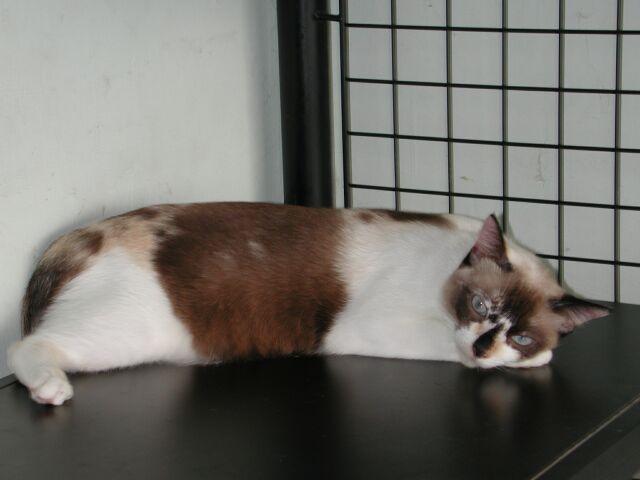 Kucing Malasia