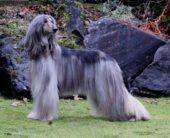 Afghanische Windhund