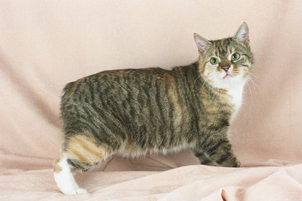 Manx Cat History - Annie Many  |Manx Cat History