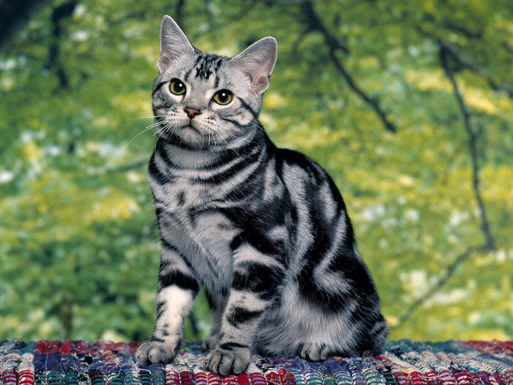 Patrones - Razas gatos | Mascotas