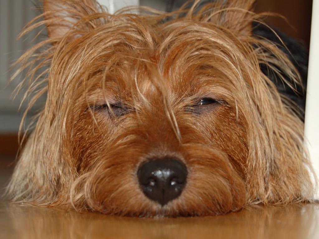 Terrier Australiano