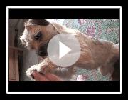 Sara Border Terrier : Ein Tag mit....