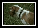 Bracco Italiano - il cane piu' bello del mondo. MC.wmv