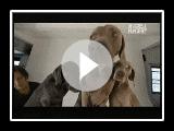 Dogs 101 - Weimaraners
