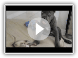 Cane Corso puppy (Italian Mastiff) and a Ferret
