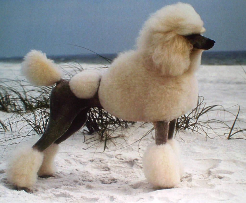 About poodles