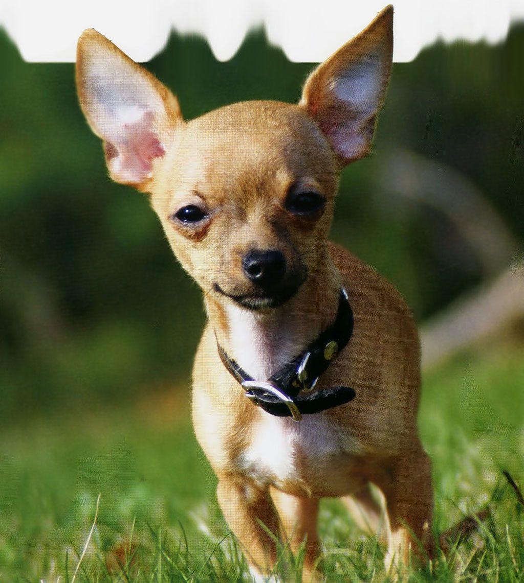 Chihuahue 241 O O Chihuahua Razas De Perros Mascotas