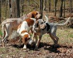 Coonhound Inglés
