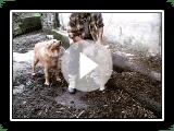 Euskal Artzain Txakurra, the Basque Shepherd Dog part 1