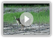 Polish greyhound- CHROBRY.MOV
