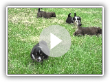 Walnut Ranch English Shepherd puppies
