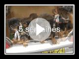Annonce chiots LOF bergers de Beauce vendre