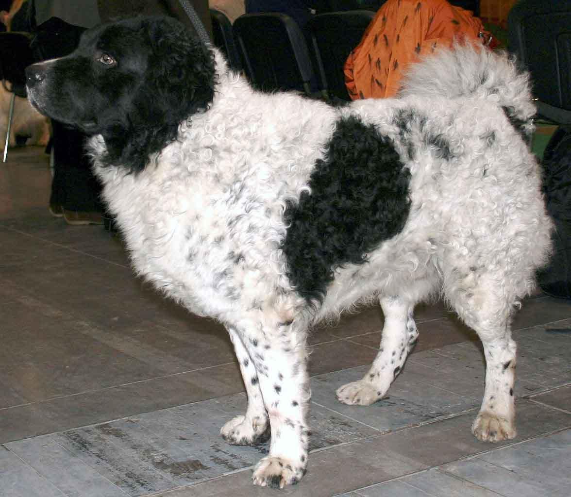 Friesische Wasserhund