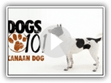 Dogs 101 - Canaan Dog