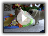 Pug tactics to steal from baby Jack!