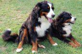 Dogs Boyeros