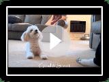 Miniature Poodle Tricks