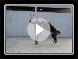 Portuguese Estrela Mountain Dog
