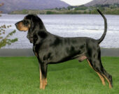 American Black and Tan Coonhound