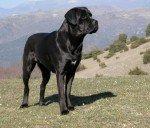 Italian Mastiff