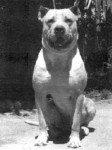 Cordoba Kampfhund
