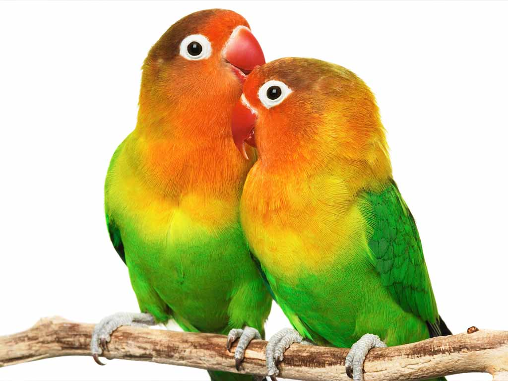 Wallpapers Love Birds: Inséparable - Oiseaux Psittaciformes