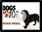 Hunde 101- Boykin Spaniel