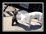 Jouer avec un ours Berger Asie centrale