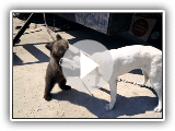 Pastor de Asia Central jugando con un oso