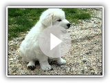 Maremmano Abruzzese male pup 55 days old 018.avi