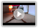 Miniature Pinscher playing with hands
