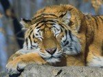 Tigre dort