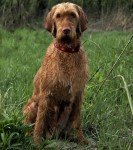 Vizsla Wirehaired
