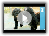 Portuguese Water Dog - Puppy Love
