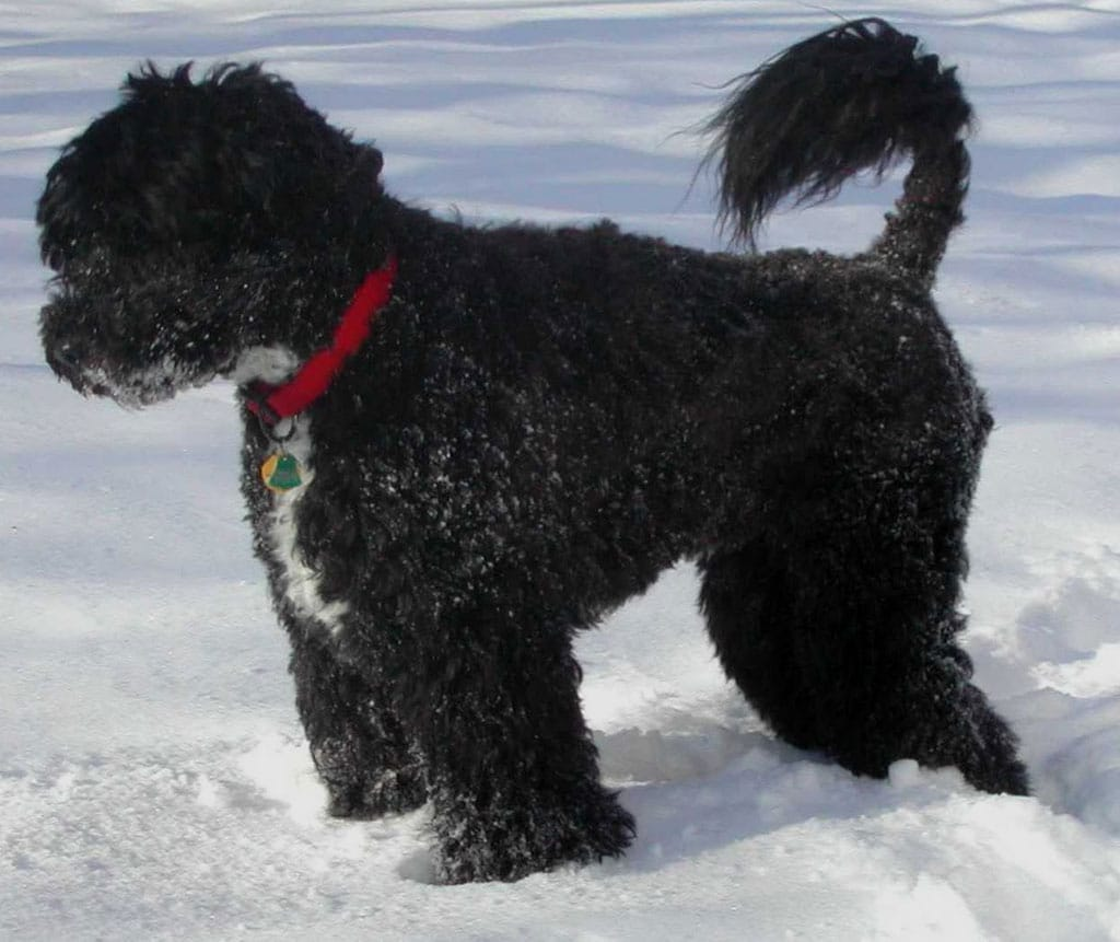 Portuguese Water Dog Dogs Breeds