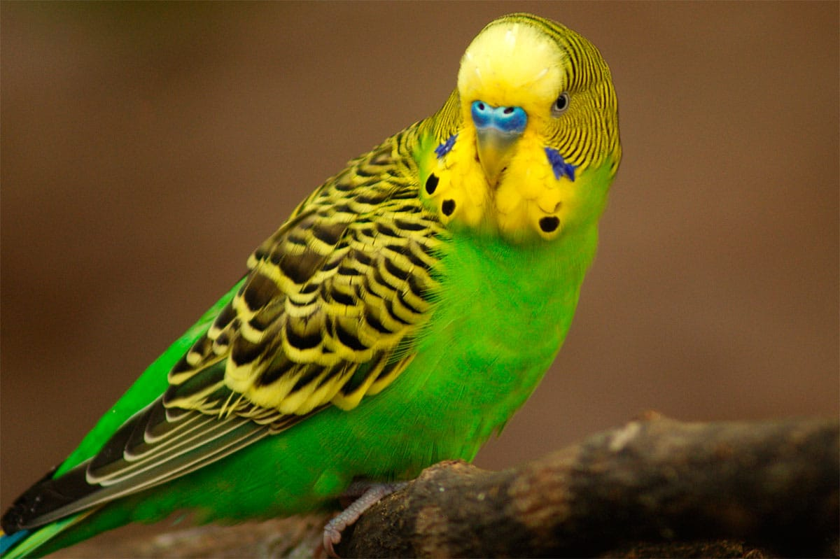 Common Budgie