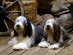 Breeders of bearded Collie or Bearded Collie in Spain