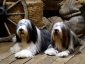 Criadores de Collie Barbudo o Bearded Collie en España
