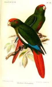 Rose-headed Parakeet
