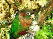 Parrot pechiparda