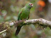 Golden Parakeet 2
