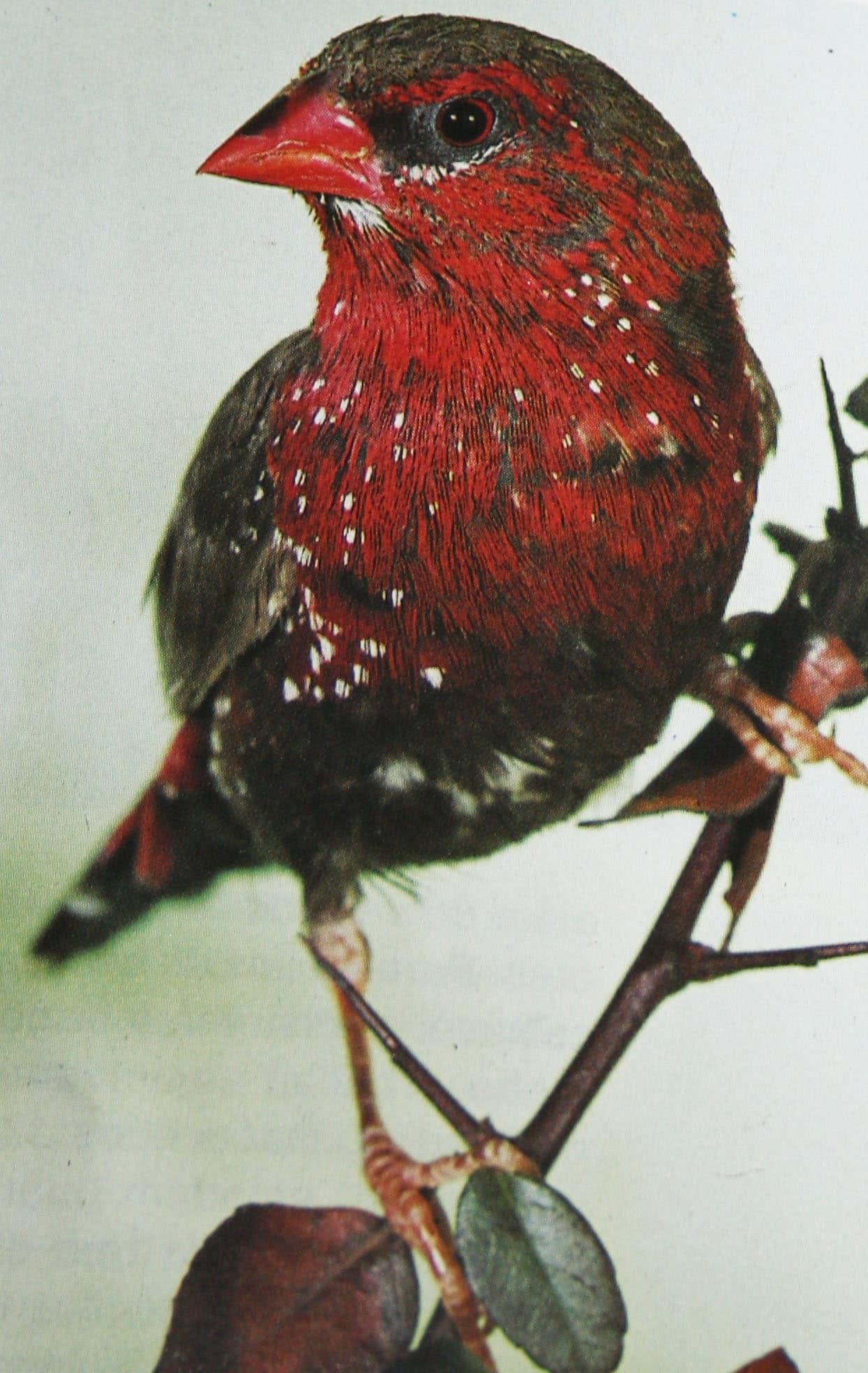 Tigerfink - Amandava amandava - Exotische Vögel | Haustiere
