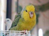 Catita enana de cara amarilla